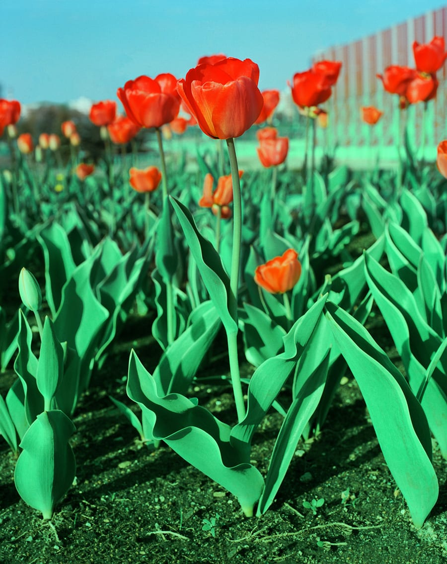 05_085_TULIPS_Andrew_Miksys